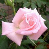 Pink2_1