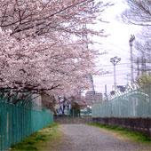 Sakura_pool_miti