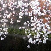 Sakura_yosuiro
